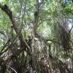 Mangroven in Celestun
