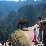 Kurz vor dem Sprung? Lama in Machu Picchu