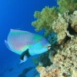 Tauchen in Mexiko: der Blaue Papageienfisch