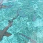 Ammenhaie im türkisblauen Wasser der Karibik