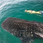 Beim Tauchen in Mexiko Walhaien begegnen