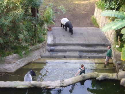 die Tapire baden