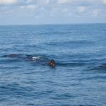 Walhai bei der Isla Holbox