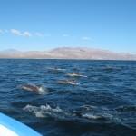 Delfinschule auf dem Weg zur Isla Coronado