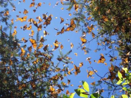 Monarch-Falter in Michoac__n-2