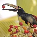 Aracari Costa Rica